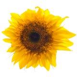 Słonecznik na biel Obraz Royalty Free
