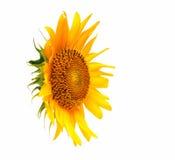 Słonecznik na biel fotografia stock