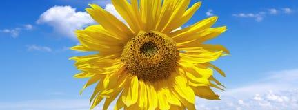 Słonecznik na niebieskim niebie zdjęcia royalty free