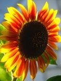 Słonecznik nasłoneczniony Obraz Royalty Free