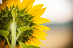 Słonecznik od słonecznik Zdjęcie Stock