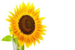 Słonecznik odizolowywa białego tło Obraz Stock