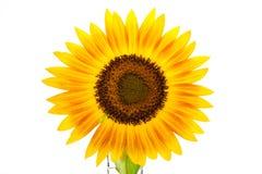 Słonecznik odizolowywa białego tło Obrazy Royalty Free
