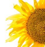 Słonecznik odizolowywający Zdjęcia Stock