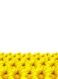 słonecznik odizolowywający na białym tle Zdjęcie Stock