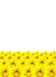 Słonecznik odizolowywający na białym tle Obraz Stock