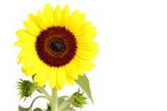 Słonecznik odizolowywający na bielu obrazy stock