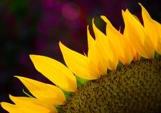 Słonecznikowi następy zdjęcia stock