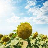słonecznik po kwitnąć na polu pod chmurnym niebem obraz stock