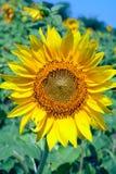 słonecznik pola zdjęcia royalty free