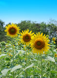 słonecznik pola zdjęcia stock