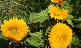Słonecznik Powabni kopia kwiaty z jaskrawymi żółtymi kwiatami obrazy stock