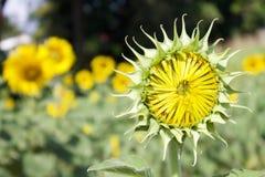 Słonecznik przed dorosłą rośliną w słonecznym dniu Zdjęcia Royalty Free