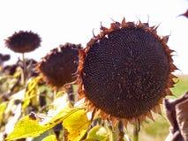 Słonecznik przy żniwo czasem Fotografia Royalty Free