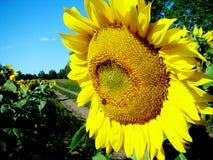 Słonecznik przy drogą Fotografia Royalty Free