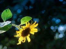 Słonecznik przy końcówką dzień Obraz Royalty Free