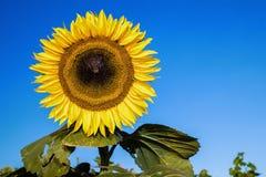 Słonecznik Przy nocą zdjęcie royalty free