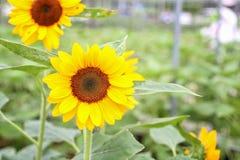 Słonecznik przy organicznie zielonym domem Szklarnia Uprawia ziemię Organicznie jarzynową rolnictwo technologię obraz royalty free