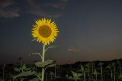 Słonecznik przy zmierzchem w Lipu fotografia stock