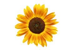 słonecznik rdzewiejący Zdjęcia Royalty Free