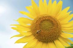 Słonecznik, selekcyjna ostrość Fotografia Stock