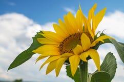Słonecznik, selekcyjna ostrość Fotografia Royalty Free