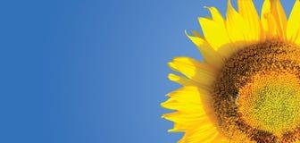 słonecznik tło Obrazy Royalty Free