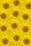 słonecznik tło Obrazy Stock