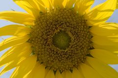 słonecznik włochy Zdjęcie Royalty Free