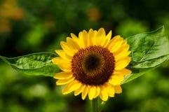 Słonecznik w świetle słonecznym Zdjęcie Royalty Free