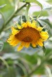Słonecznik w ogródzie zdjęcia royalty free