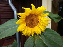 Słonecznik w ogródzie z pszczołą obrazy royalty free