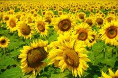 Słonecznik w południowym France Fotografia Stock