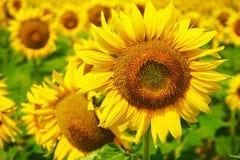 Słonecznik w południowym France Zdjęcia Stock