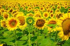 Słonecznik w południowym France Zdjęcia Royalty Free