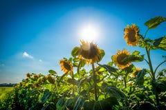 Słonecznik w polu słoneczniki obrazy royalty free