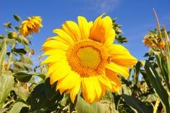 Słonecznik w polu Zdjęcia Royalty Free