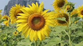 Słonecznik w polu z wiatrowym ciosem zbiory wideo