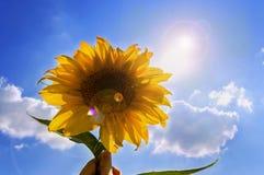 Słonecznik w ręce z niebieskim niebem obrazy stock