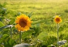 Słonecznik w słońcu Fotografia Royalty Free