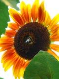 Słonecznik w słońcu Zdjęcie Royalty Free
