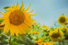 Słonecznik w słonecznika polu Obraz Stock