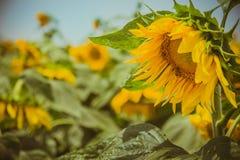 Słonecznik w słonecznika polu Obrazy Royalty Free