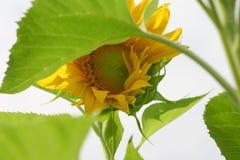 Słonecznik w wiatrze zdjęcie stock
