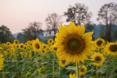 Słonecznik w wieczór zdjęcie royalty free