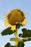 Słonecznik więdnie. Zdjęcie Stock