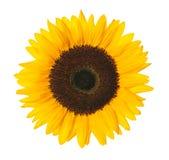 Słonecznik z ścinek ścieżką Obrazy Royalty Free