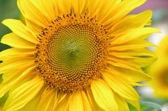 Słonecznik z żółtymi płatkami Zdjęcia Royalty Free