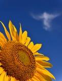 Słonecznik Z anioł chmurą zdjęcia royalty free