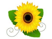 Słonecznik z liśćmi Zdjęcie Royalty Free